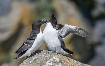 Razorbills - Lunga, Treshnish Isles