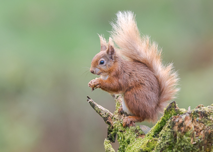 Red Squirrel - Ringford, Kirkcudbrightshire