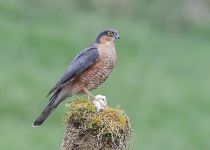 Eurasian Sparrowhawk - Ringford, Kirkcudbightshire