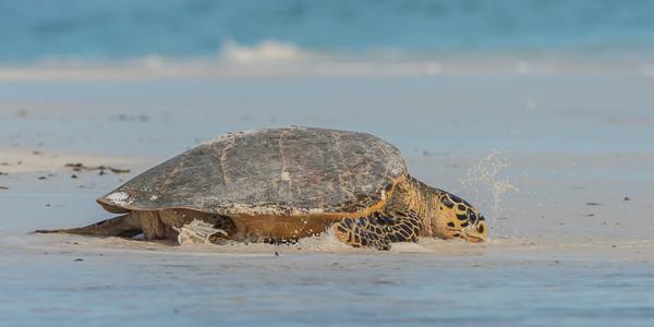 Hawksbill Turtle - Bird Island, Seychelles