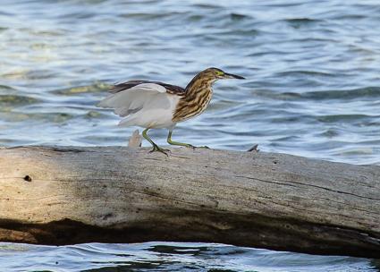 Malagasy Pond Heron - Bird Island (2012)