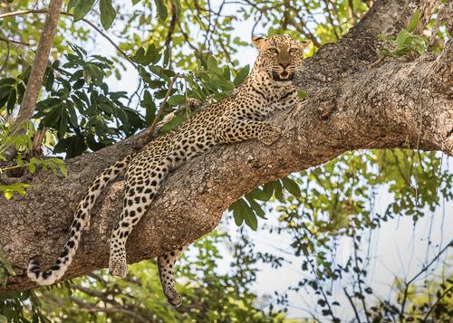 Leopard - South Luangwa, Zambia