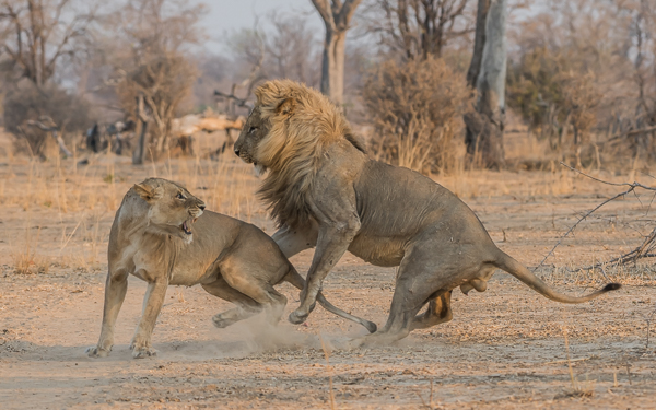 Lions mating - South Luangwa, Zambia