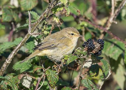 Chiffchaff - Lymington-Keyhaven Nature Reserve