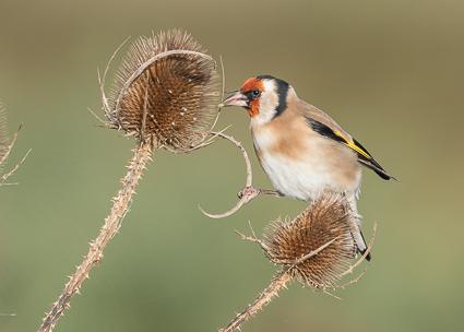 Goldfinch - Lymington-Keyhaven Nature Reserve