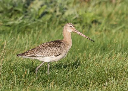 Black-tailed Godwit - Pennington Marshes