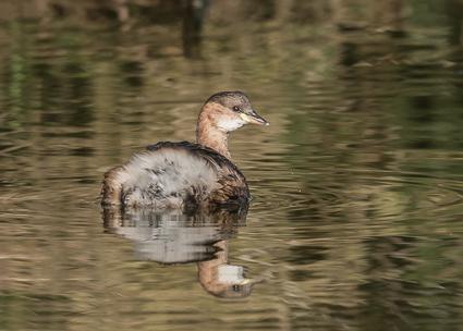 Little Grebe - Lymington-Keyhaven Nature Reserve