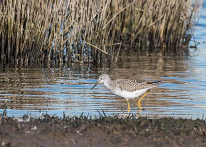 Lesser Yellowlegs (distant 'record shot') - Lodmoor Nature Reserve