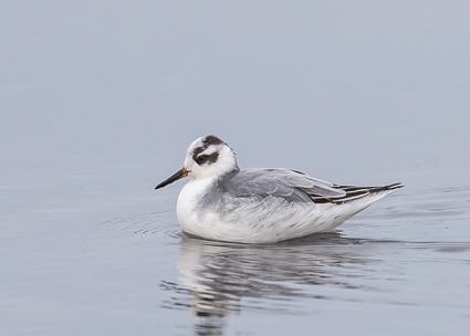 Grey Phalarope - Oxey Lagoon, Lymington