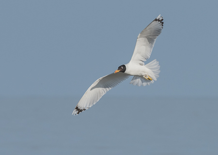Pallas's Gull ~ Musura Bay, Black Sea