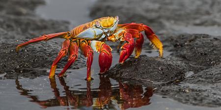 Sally Lightfoot Crab ~ Cerro Brujo, San Cristobel
