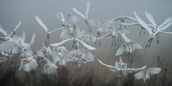 Cattle Egrets - Canal des Trois Fosses, Marais Poitevin, France