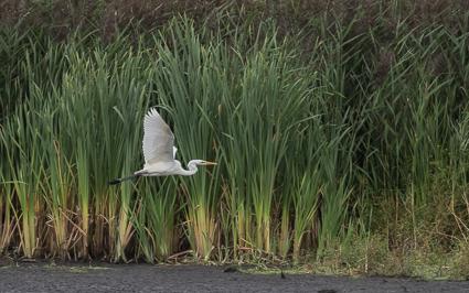 Great White Egret - Shapwick Heath, Avalon Marshes