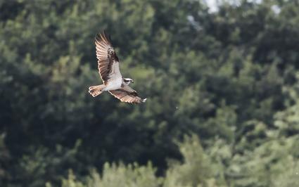 Osprey - Shapwick Heath, Avalon Marshes
