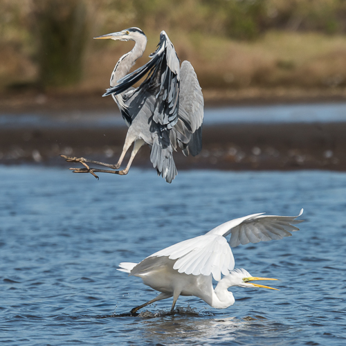 Grey Heron v Great White Egret - Lodmoor Nature Reserve