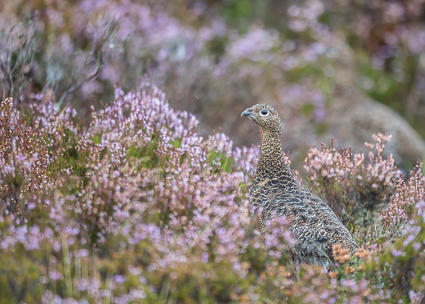 Red Grouse (female) - Lochindorb Estate, Cairngorms