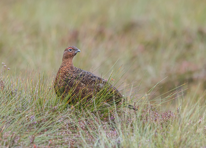 Red Grouse (male) - Lochindorb Estate, Cairngorms