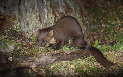 Pine Marten - Erchless Forest, Near Struy, Highlands