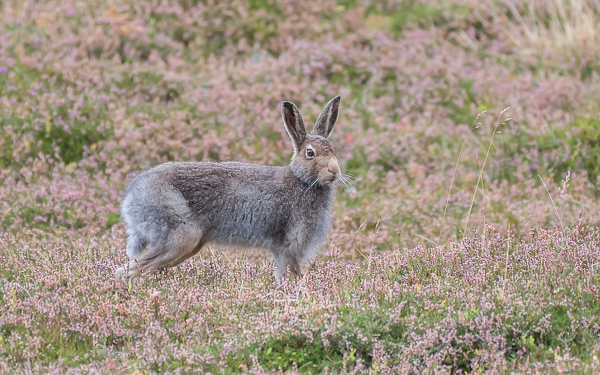 Mountain Hare - Findhorn Valley, Highlands