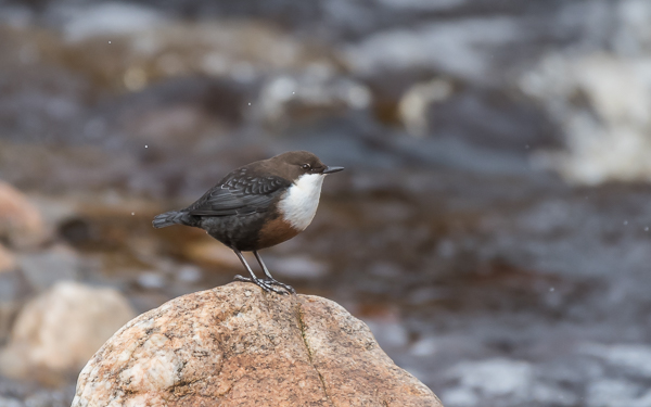 White-throated Dipper - Findhorn Valley, Highlands