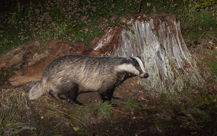 Badger - Erchless Forest, Near Struy, Highlands