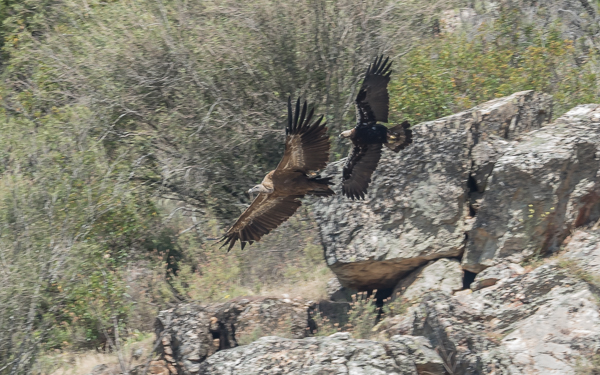 Spanish Imperial Eagle chasing off a Griffon Vulture