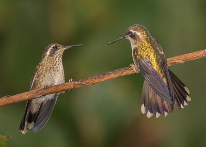 Speckled Hummingbirds
