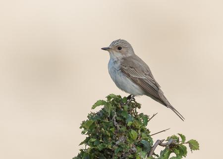 Spotted Flycatcher ~ Cúber Reservoir
