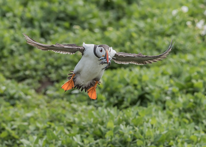Atlantic Puffin - Farne Islands, Northumberland