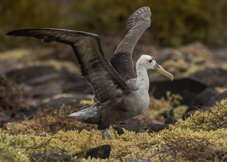 Waved Albatross ~ Punta Suarez, Espanola