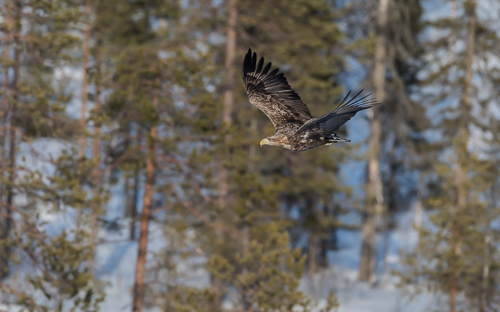 White-tailed Eagle flying through the forest at Lämsänkylä