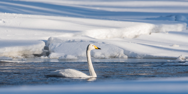 Whooper Swan on the icy cold Kuusinkijoki river