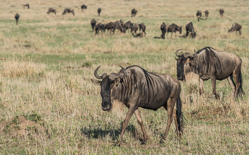 A small strung-out herd of wildebeest slowly trudge across an open plain