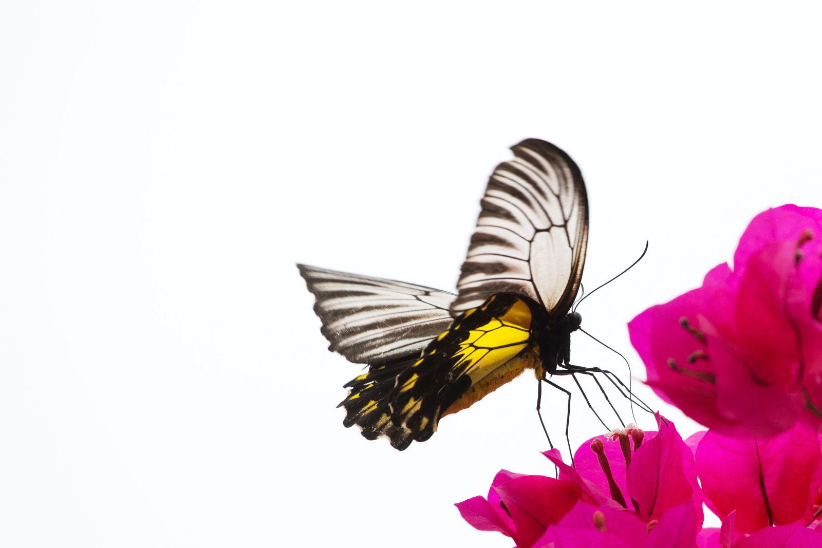 Birdwing Butterfly, Borneo