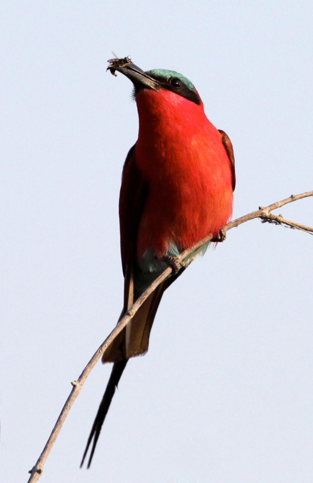 Carmine Bee Eater, Botswana