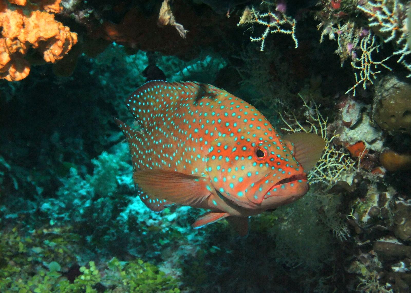 Coral Grouper, Maldives