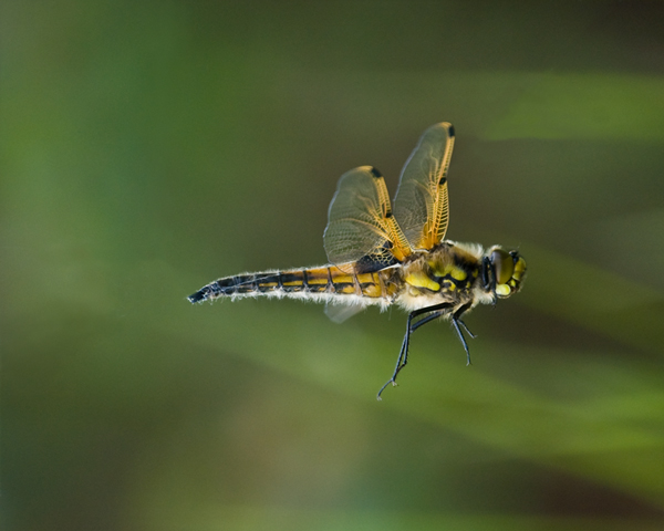 Four Spotted Chaser [Libellula Quadrimaculata]