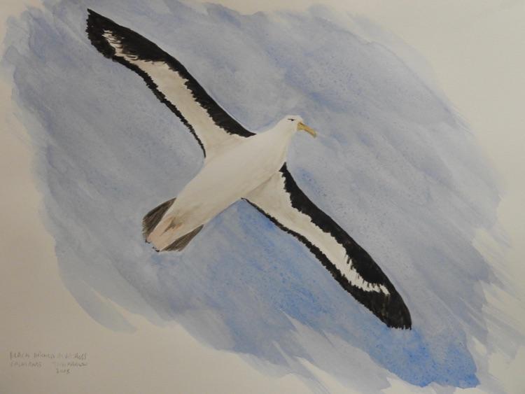 Black Browed Albatross 23 x31cm-Sold