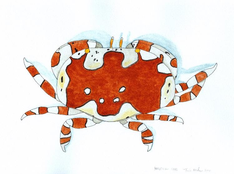Harlequin Crab.  36cm x 26cm