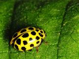 22 -spot Ladybird