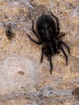 Amaurobius ferox