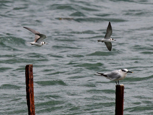 Black Terns flying past perched Sandwich Tern
