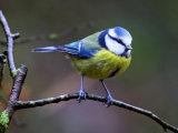 Blue Tit (Cyanistes or Parus caeruleus)