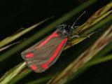 Cinnabar (Tyria jacobaeae)