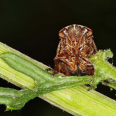Common Froghopper