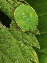 Common Green Shieldbug Nymph