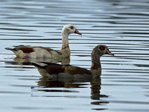 Egyptian Geese (Alopochen aegyptiacus)