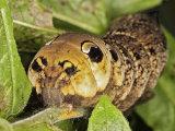 Elephant Hawk-moth Caterpillar