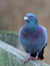 Rock Dove/ Feral Pigeon