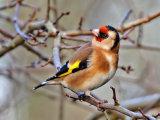 Goldfinch (Carduelis carduelis)